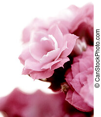 Kalanchoe flower blossoms on white background