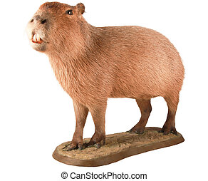 Capybara - A isolated capybara Itu2019s isolated on a white...