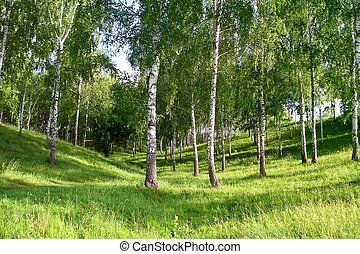 Birch Grove in the gully - Birch Grove in a ravine in the...