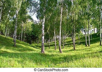 Birch Grove in the gully - Birch Grove in a ravine in the...