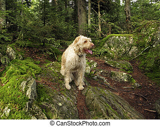 Golden Doodle - a Golden Doodle sitting on mossy mountain
