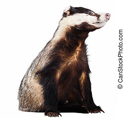 Badger - A isolated badger Itu2019s isolated on a white...
