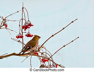 Bird waxwing, a winter migrant sits in a tree full of...