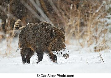 Wild boar in snow - Wild boar walking in snow, Bavaria