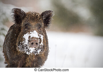 Wild boar with snow on snout - Wild boar looking at the...