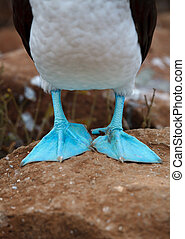 Galapagos blue-footed booby - Detail of the Galapagos...