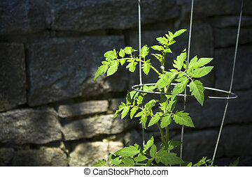 Young Tomato Plant - Young tomato plant, supported by a...