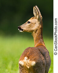 Female roe deer in midday sun - Female roe deer in spring...