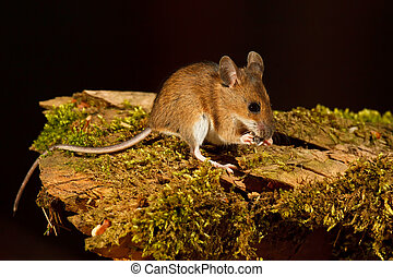 Wood Mouse - Wood mouse, apodemus sylvaticus, eating a...