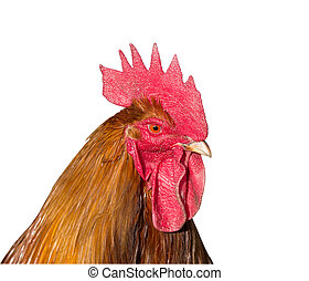 rooster head isolated on white