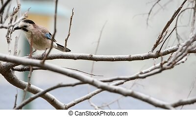 Bird Eurasian Jay on a branch