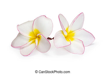 flower frangipani on white background