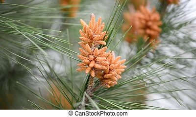 Bright orange cones - Young orange fir cones