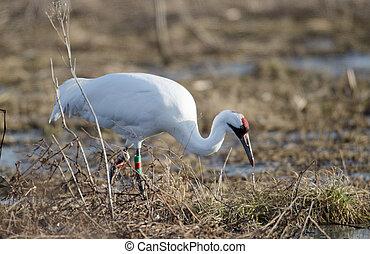 Endangered whooping crane - An endangered whooping crane...