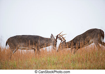White-tailed deer bucks sparring