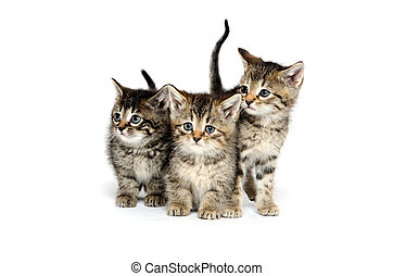 Three tabby kittens - Three baby tabby kittens standing on...
