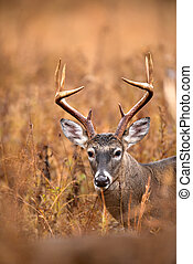White-tailed deer buck - Large white-tailed deer buck...