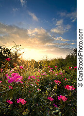 Pink Roses at Dawn - Sunshine bathing tall grasses and pink...