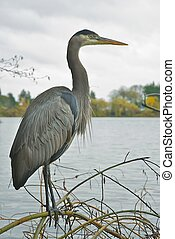Blue Heron - Heron on a branch
