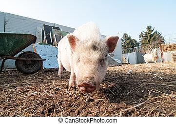 pig on the farm