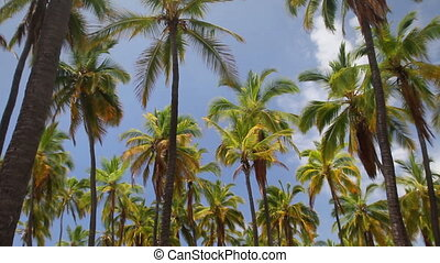 Palm Tree Forest - Looking up at a forest of palm trees and...