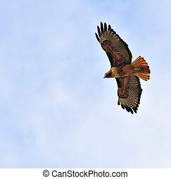 Redtail, falcão, voando, despesas gerais