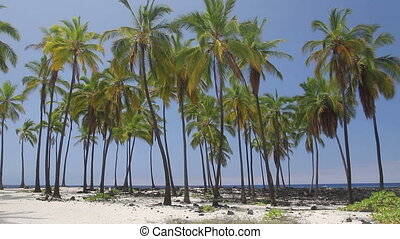 Palm Tree Oasis - Beautiful Hawaiian scene with palm trees...