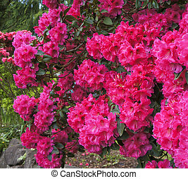 Pink rhododendrons shrub in bloom Spring USA Northwest -...