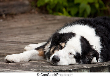 Lazy dog days of summer - A tri-coloured australian shepherd...