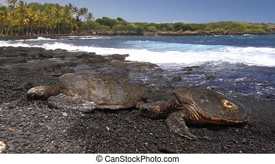 Sea Turtles on Beach 2 - Two Green Sea Turtles walking up a...