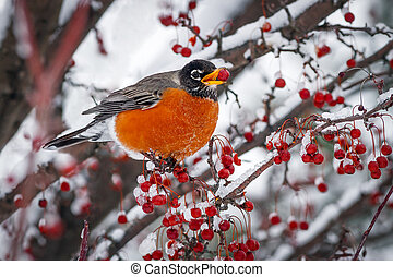 Robin on Snowy Crab Apple Branch - A robin rests on a snowy...