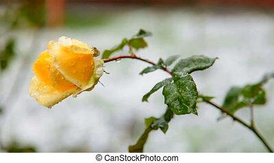 Flower under first wet snow