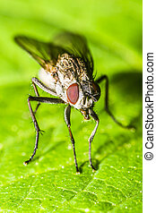 Housefly - Macro Photo Of A Housefly: Head, Body and Legs in...