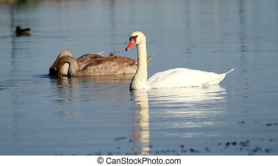 Swan family - Swans family