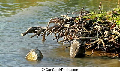 Tree roots in the water