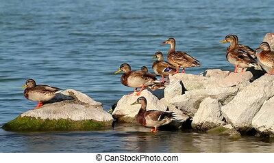 Wild ducks on the rock