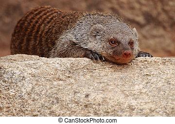 Mongoose - photograph of a beautiful African mongoose...
