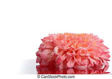 Orange chrysanthemum flower. - Orange chrysanthemum flower...