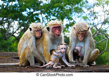 monkey family at Sigiriya, Sri Lanka - monkey family, two...