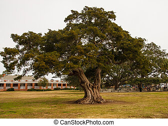 Huge Old Oak Tree in Public Park - A huge old live oak tree...