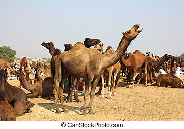 camels during festival in Pushkar - Pushkar Camel Fair -...