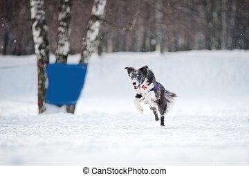 Border collie dog running in winter