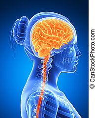 Highlighted - female brain - 3d rendered illustration -...