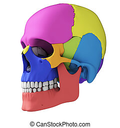 Human skull anatomy - 3d rendered illustration - human skull...