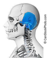 Highlighted - temporal bone - 3d rendered illustration -...