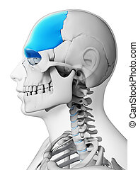 Highlighted - frontal bone - 3d rendered illustration -...