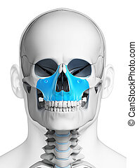 Highlighted - maxilla bone - 3d rendered illustration -...