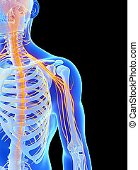 Highlighted - shoulder nerves - 3d rendered illustration -...