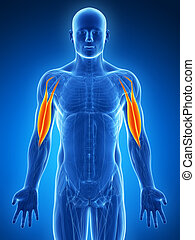 Highlighted - biceps - 3d rendered illustration - biceps