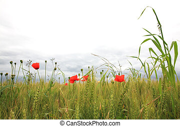 Poppies in a wheatfield